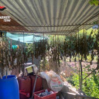 Le piante di canapa