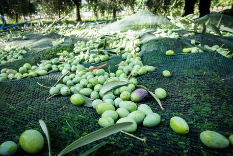 La raccolta delle olive per la produzione di olio